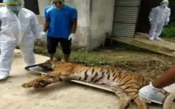 रांची की बिरसा मुंडा जैविक उद्यान में बाघ की मृत्यु के बाद लोगों में खलबली विभाग ने कोरोना संक्रमण की आशंका जताई है