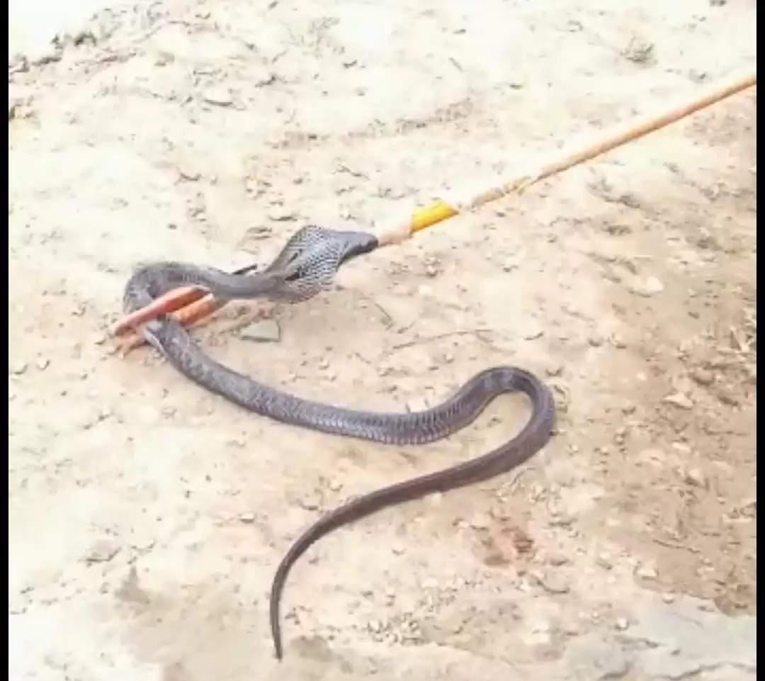 घर मे निकला 5 फ़ीट लम्बा कोबरा सर्प, घरवाले हुए भयभीत, सर्पमित्र डॉ आशीष ने किया सुरक्षित रेस्क्यू