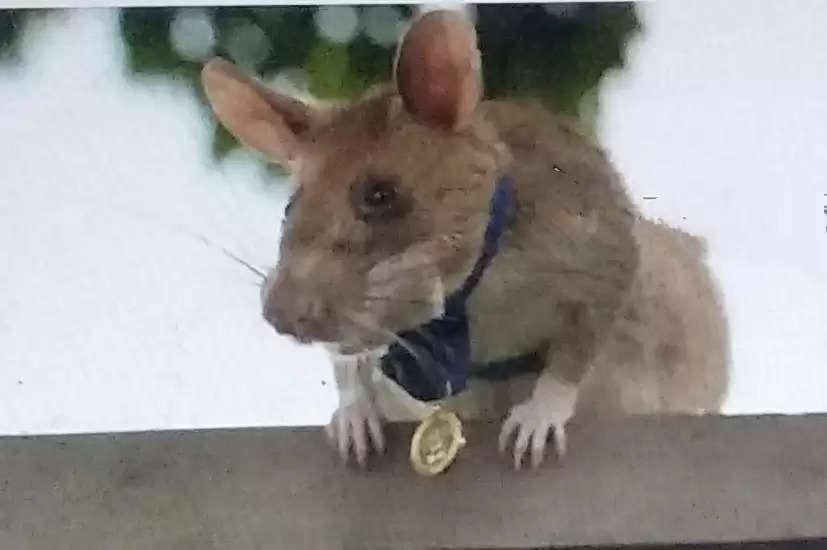 मंगवा चूहा का हुआ रिटायरमेंट जिसने 99 बारूदी सुरंगों का पता लगाने वाला।